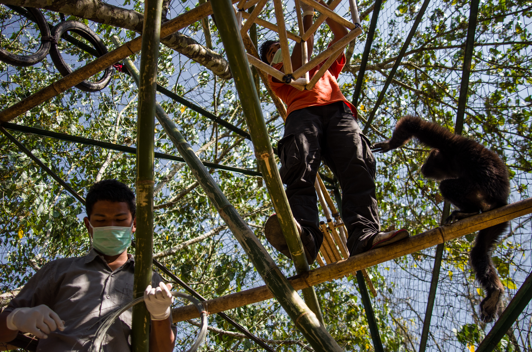 Sengrang (left) and Tangrik repair a bamboo swing in Biang and Emeraude's enclosure.