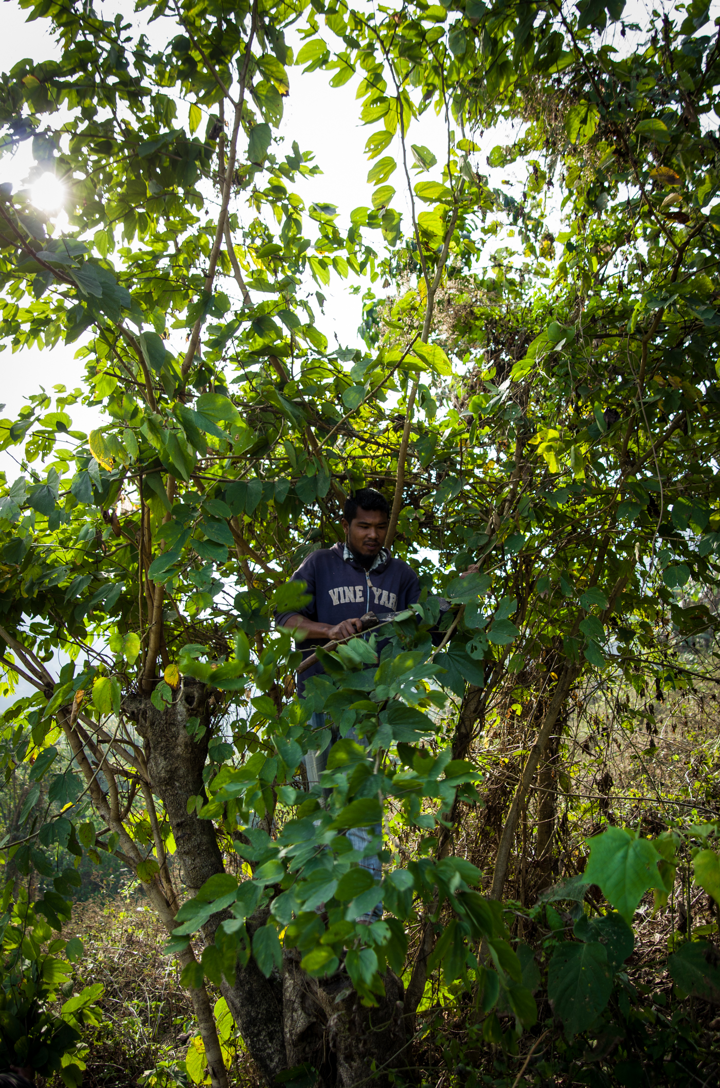 Nobin cutting vegetation for the gibbons.