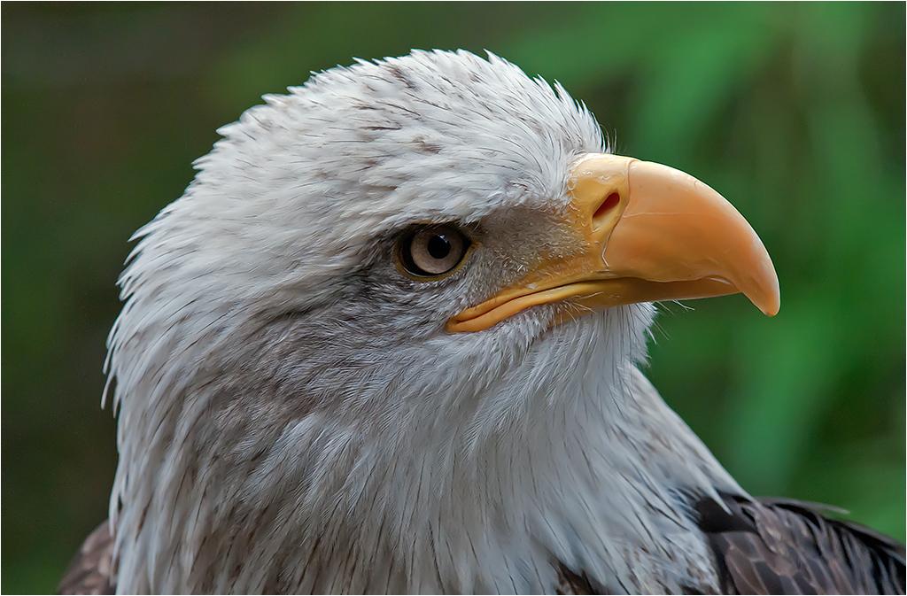 07-HodgsonJ-Bald Eagle.jpg