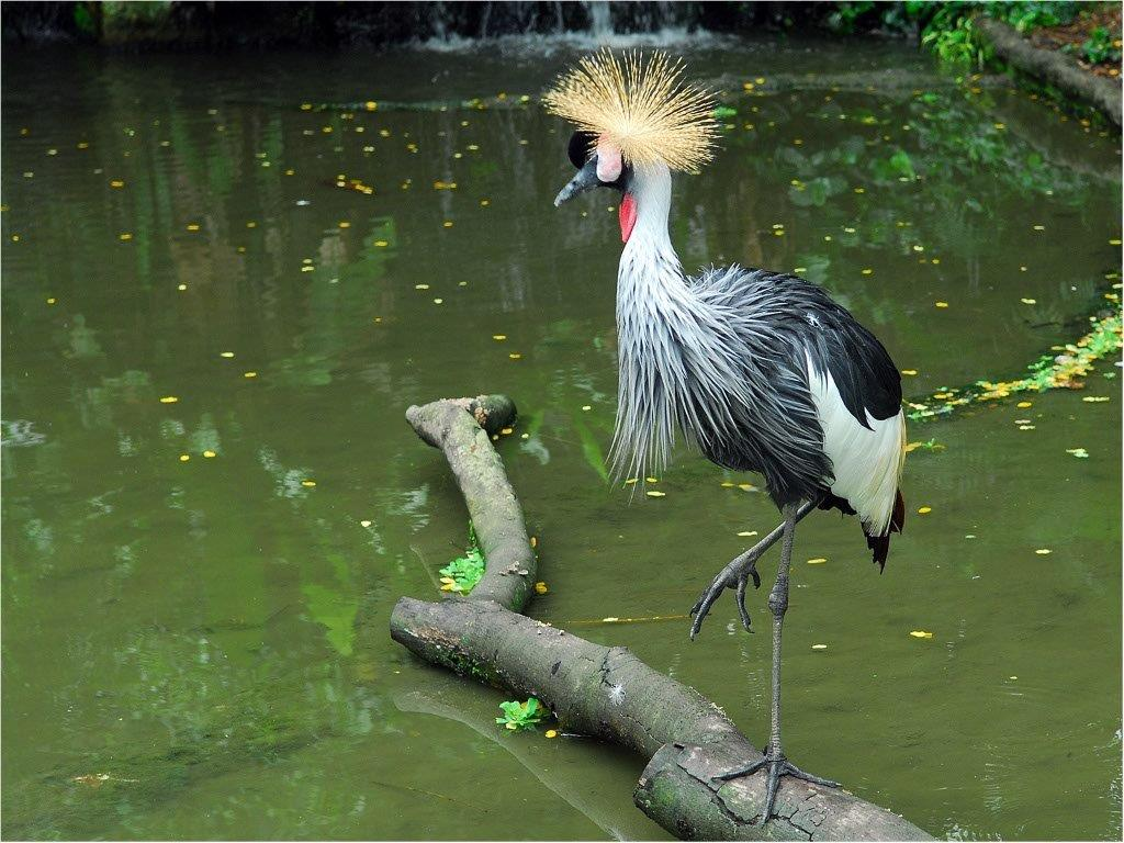 Grey-Crowned-Crane.jpg