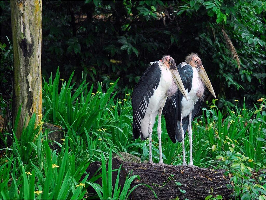 Shoebill-pair.jpg