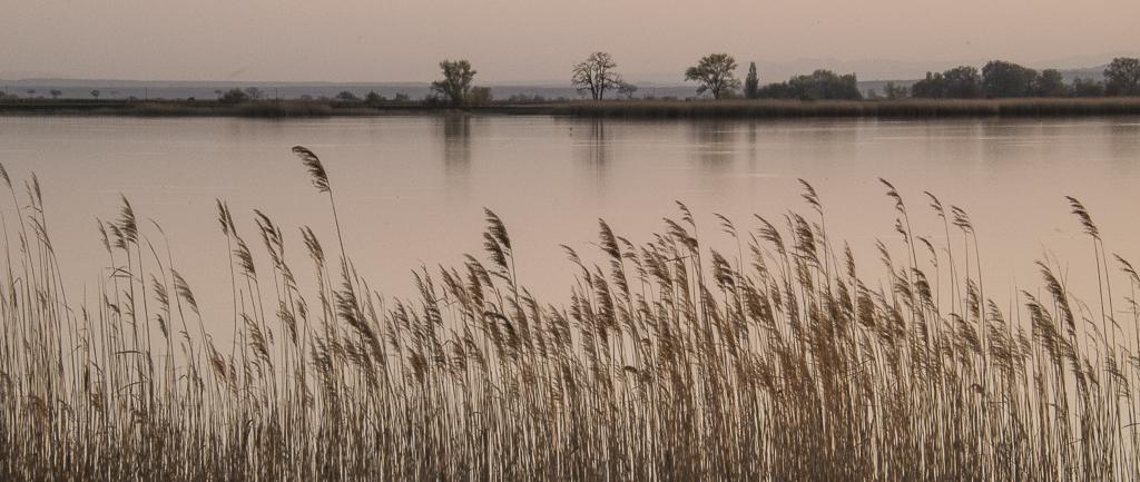 Reeds in Evening Light.jpg