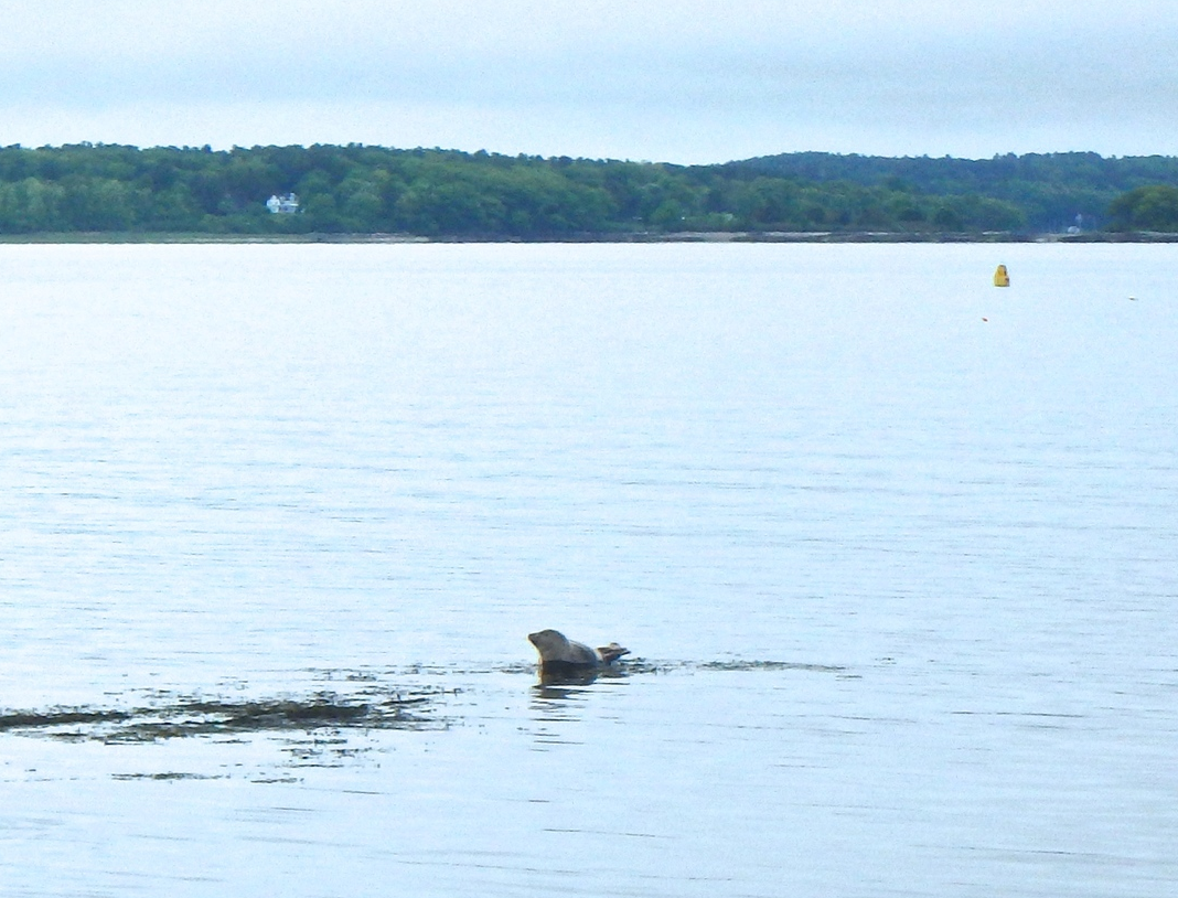A seal hauled out on Hog Island Ledge, photo: Joe Guglielmetti