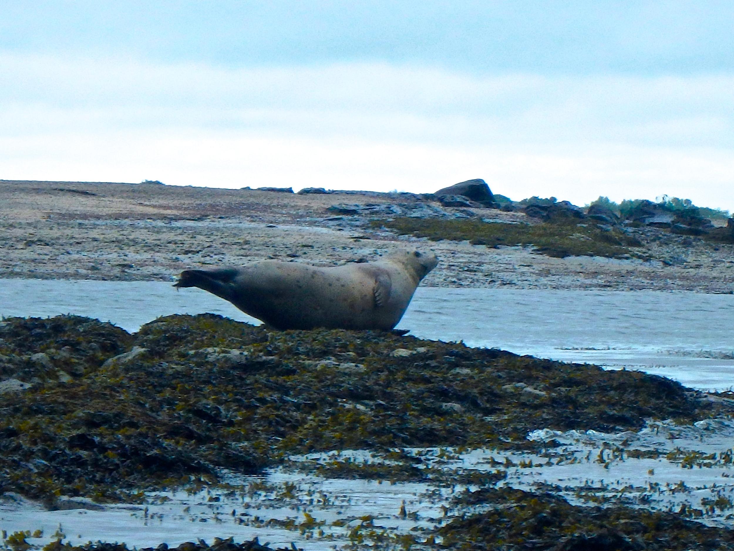 A harbor seal hauled out on Hog Island Ledge (Photo: Joe Guglielmetti)