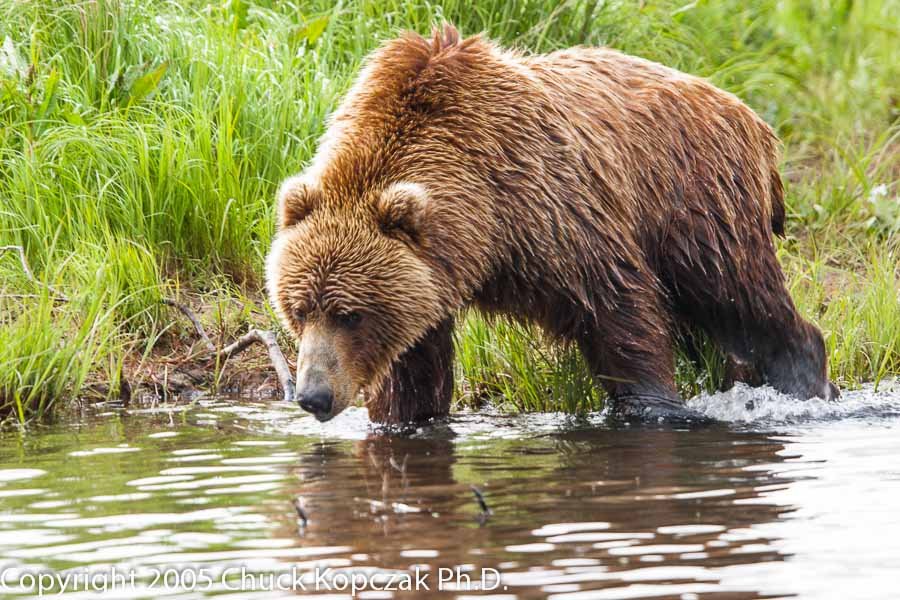 A young Kodiak brown bear moves up Dog Salmon Creek in search of red salmon returning to spawn.