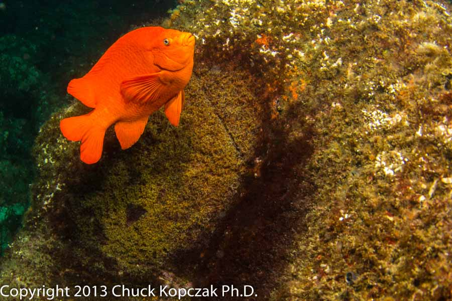 Male garibaldis cultivate algae nests into which females deposit eggs. Dad tends the eggs until hatching.