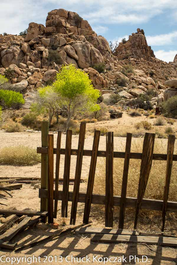 Trees spread their bright green leaves in the spring sunshine at Keys Ranch in Joshua Tree National Park.