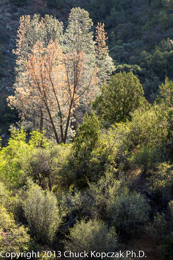 Trees are back-lit by the morning sun with a shadowed ridge of the San Rafael Mountains for a backdrop.