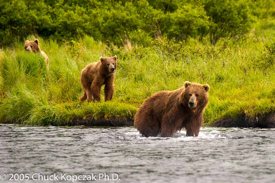 A mother Kodiak brown bear brings her two cubs to the Dog Salmon Creek to fish for sockeye salmon.