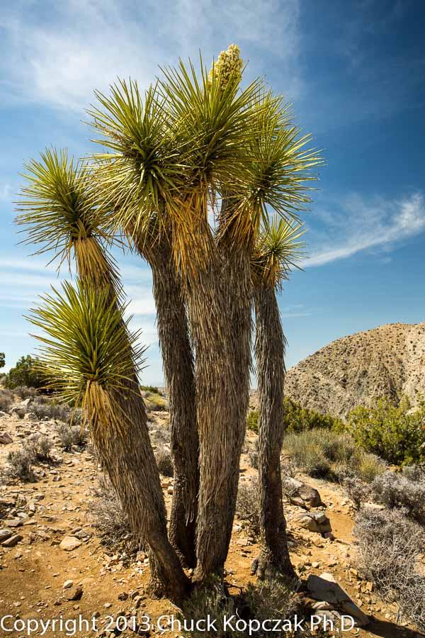 Mojave yucca ( Yucca schidigera )