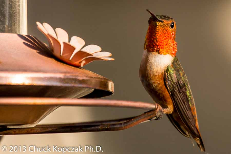 2013-02-16 Hummingbird 01-900px.jpg
