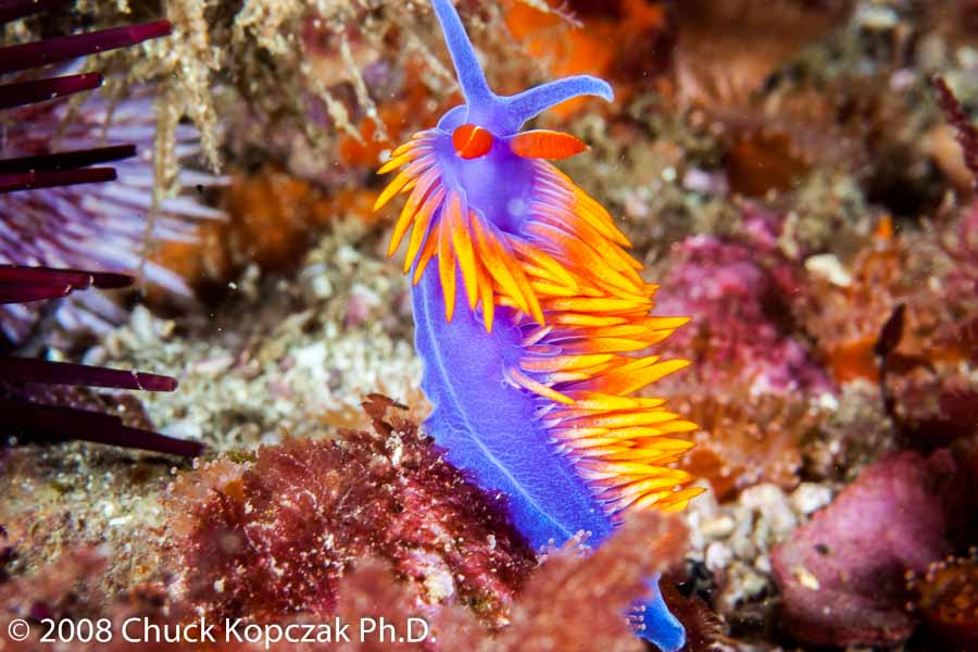 A Spanish Shawl nudibranch ( Flabellinopsis iodinea ) rises up from the reef displaying it bright orange cerata and red rhinophores.