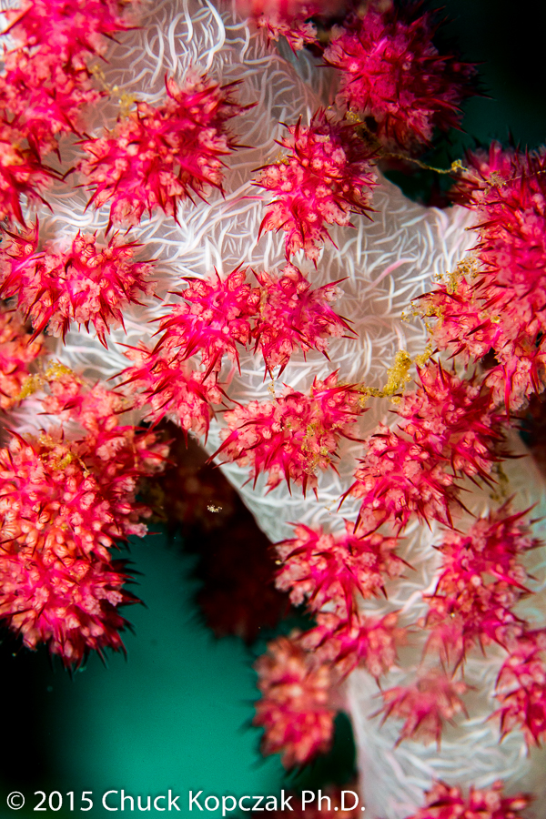 A soft coral ( Dendronephthya  sp.) begins to inflate as the current begins to pick up.
