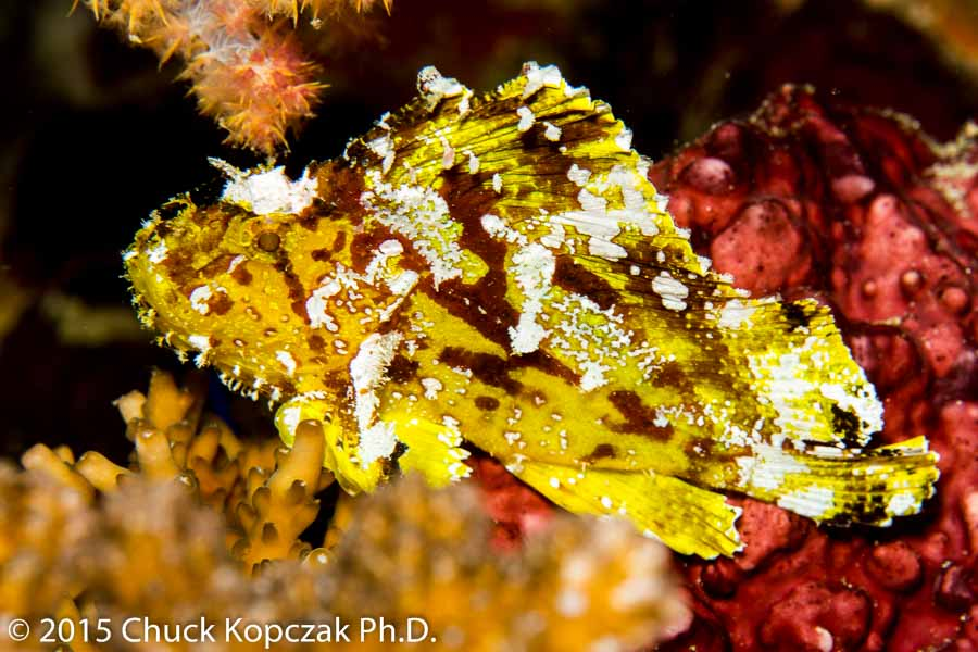 A yellow variant of the leaf scorpionfish ( Taenianotus triacanthus ) on Rainbow Reef, Vanua Levu, Fiji.
