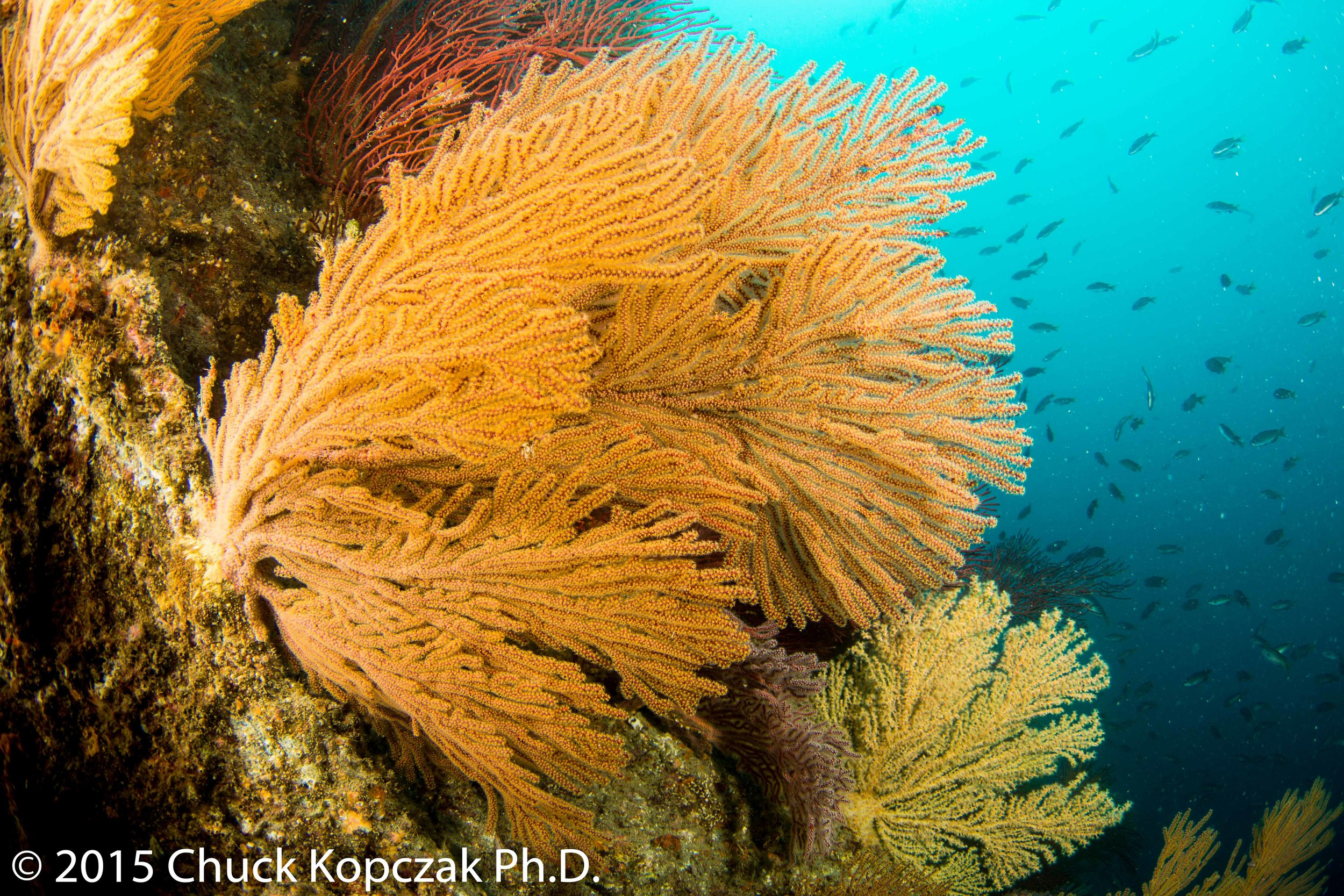 The golden gorgomian ( Muricea   californica ) spreads its polyps in the current to catch food.