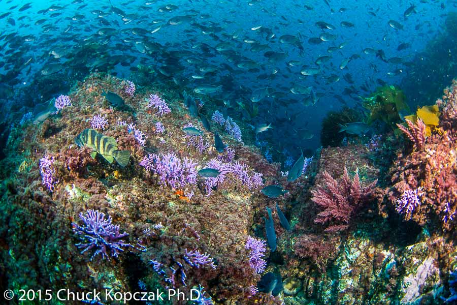 A cloud of blacksmith fish ( Chromis punctipinnis ) hover above the hydrocoral covered rocks of Farnsworth Bank.