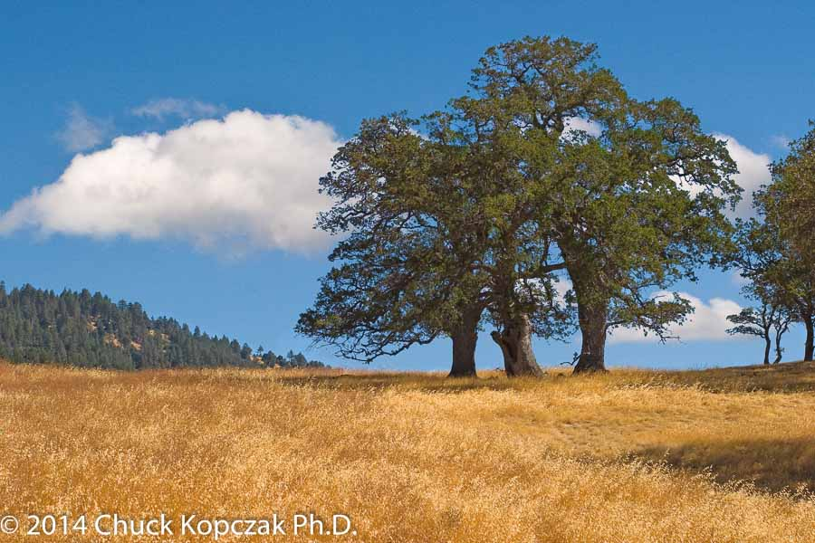 Oak trees stand against the skyline near Figueroa Mountain in the Los Padres National Forest.