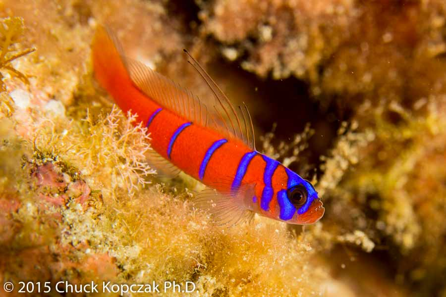 A Catalina or blue-banded goby ( Lythrypnus dalli ) poses on a rock while intently waiting for the next planktonic morsel to drift by.