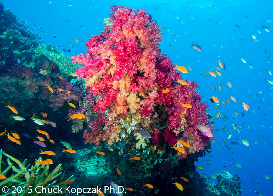 Soft corals and fish swirl in the clear waters of Purple Wall off the coast of Vanua Levu, Republic of Fiji.