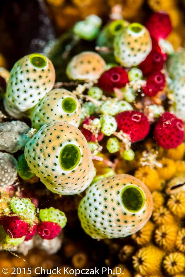 With colors mimicking emeralds and rubies, sponges continuously filter microscopic particles out of the water for food.
