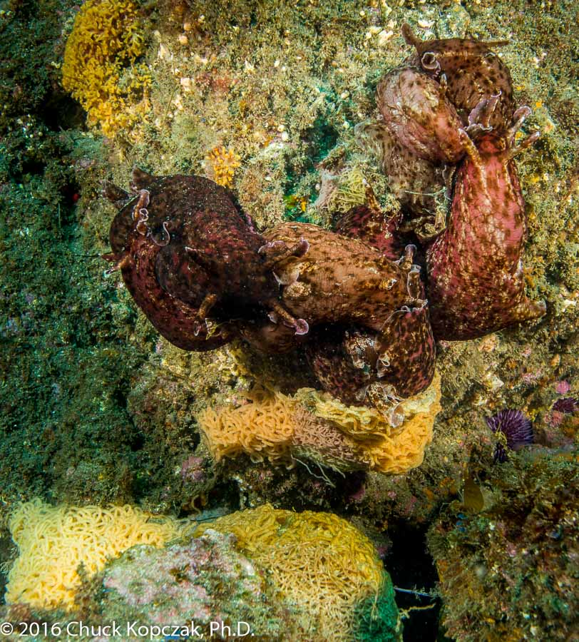 A congregation of brown sea hares ( Aplysia californica ) involved in a reproductive session and laying masses of eggs.
