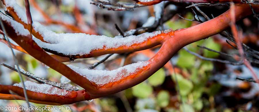 Snow clings to the bright red branches of a Manzanita bush ( Arctostaphylos spp.) in the San Gabriel Mountains.