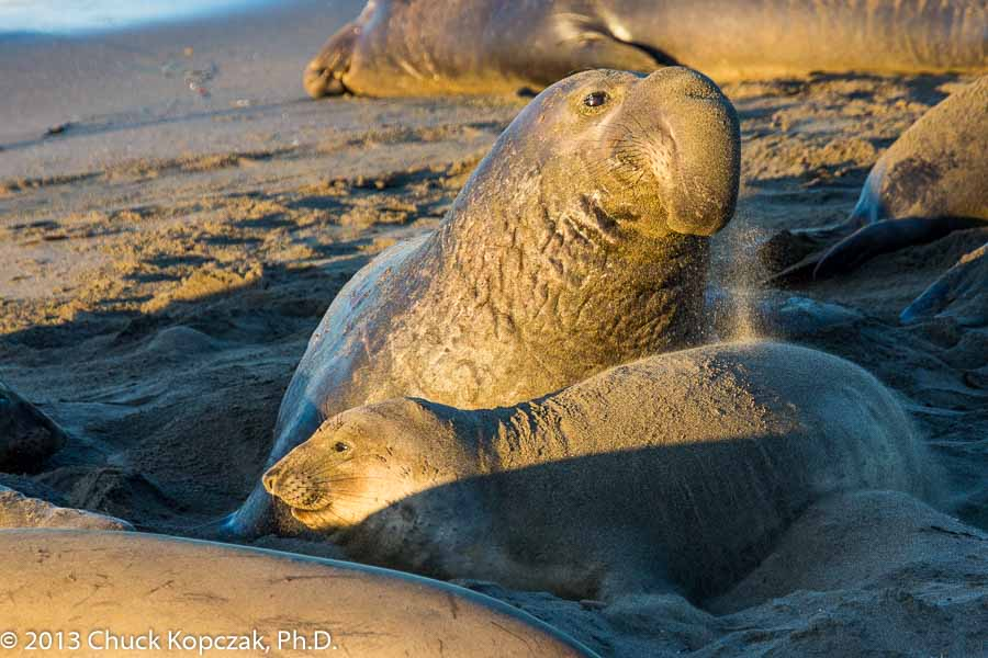 A male northern elephant seal ( Mirounga angustirostris ) towers above a female elephant seal on the beach at Piedras Blancas, California.