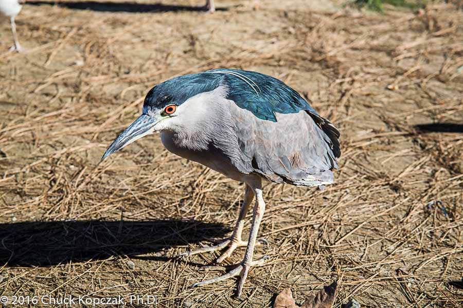 A black-crowned night heron ( Nycticorax nycticorax ) with breeding plume.
