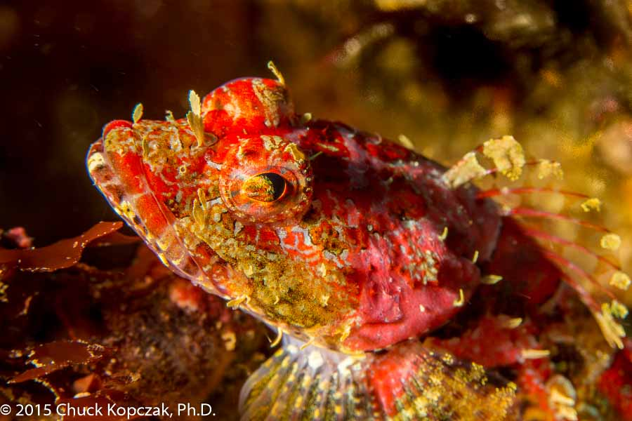 A coralline sculpin ( Artedius corallinus ), a tiny predator on California reefs, peers out from atop its rocky perch.