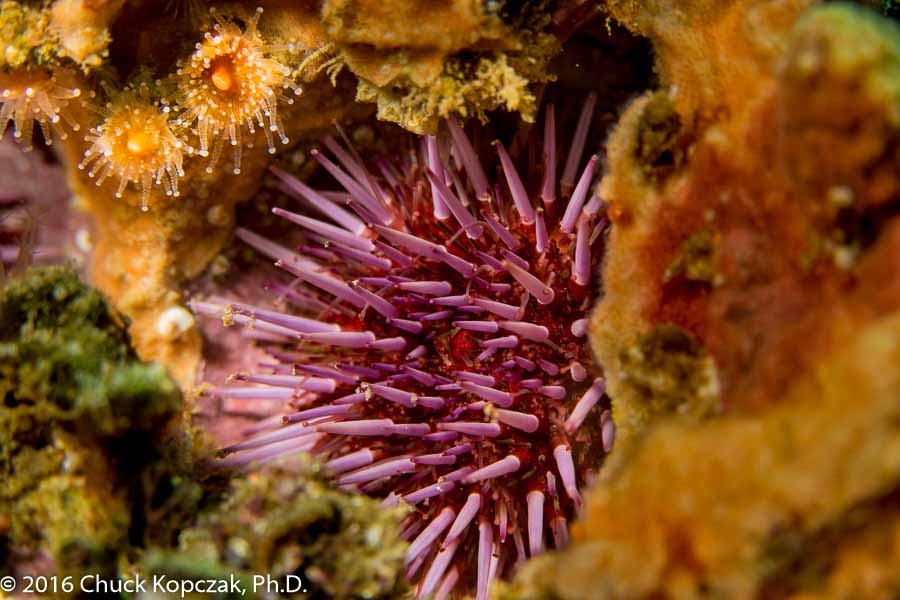 A purple sea urchin ( Strongylocentrotus purpuratus ) sits in a hole in the rock it has carved for itself.