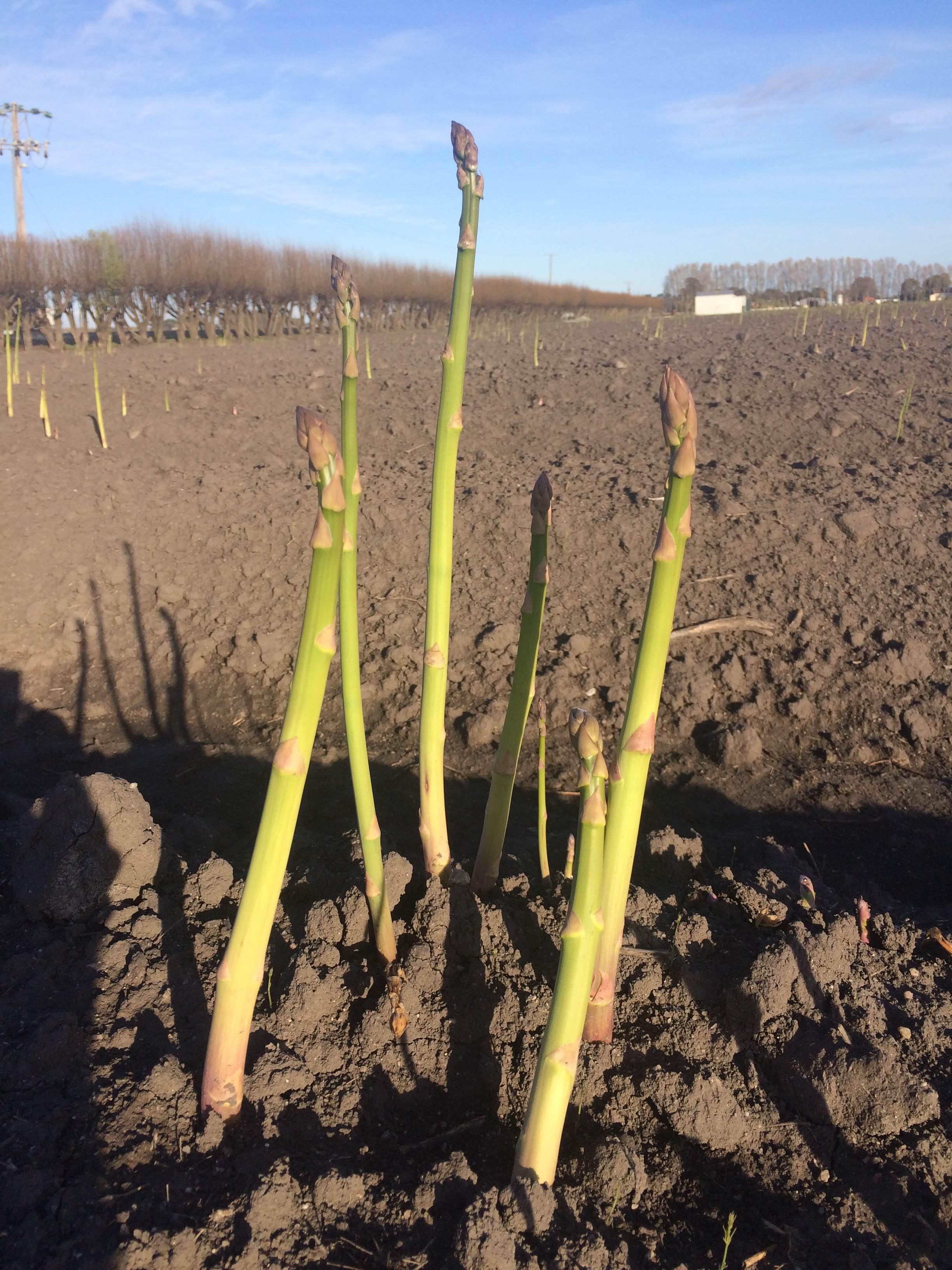 asparagus-sizes.JPG