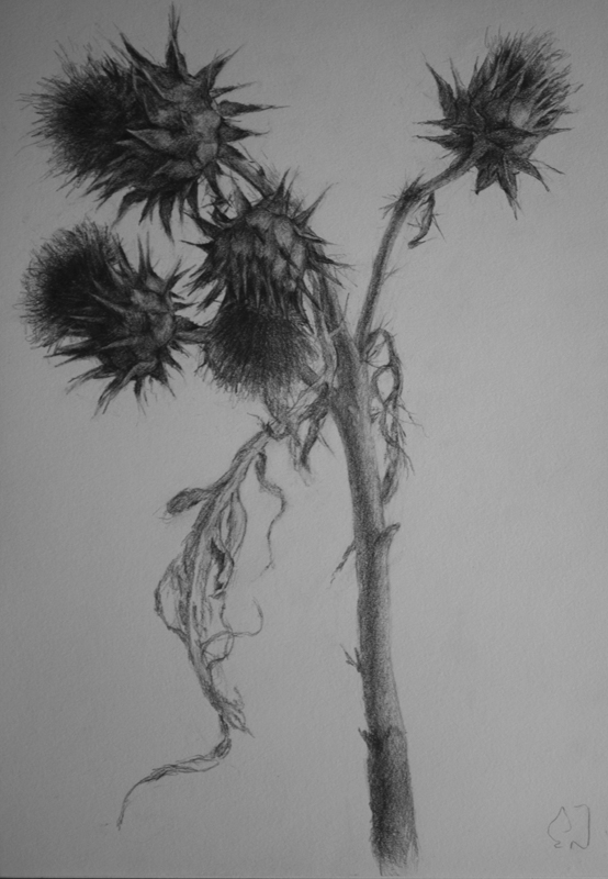 'Study for Thistle IV', 2016, pencil on paper, 30.5cm x 21.5cm. Framed. Was $990, now $450