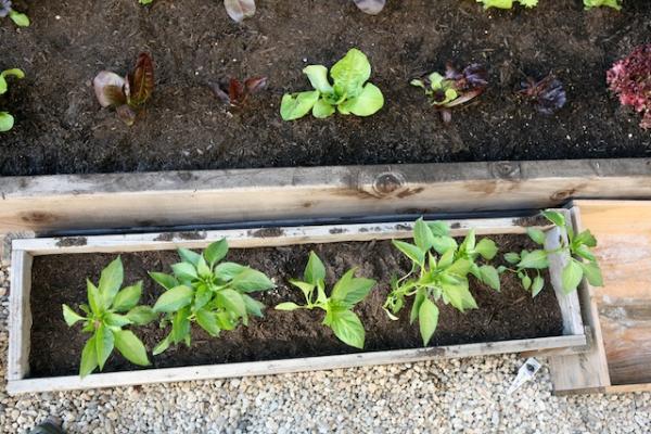 peppers in planter.jpg