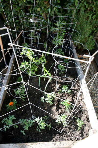 tomatoes in planter.jpg