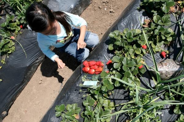 kids strawberry picking.jpg