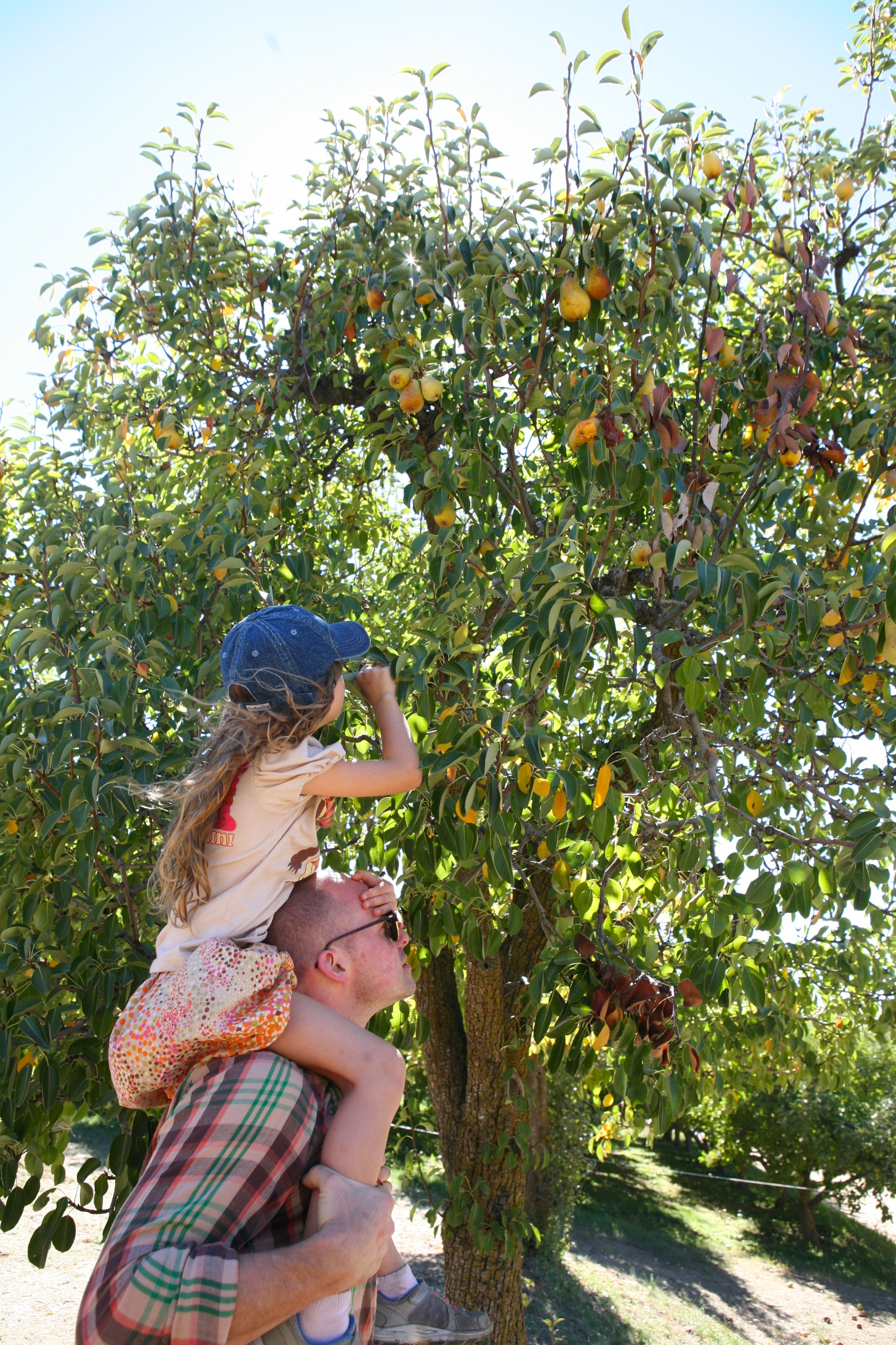 rileys farm pears.jpg