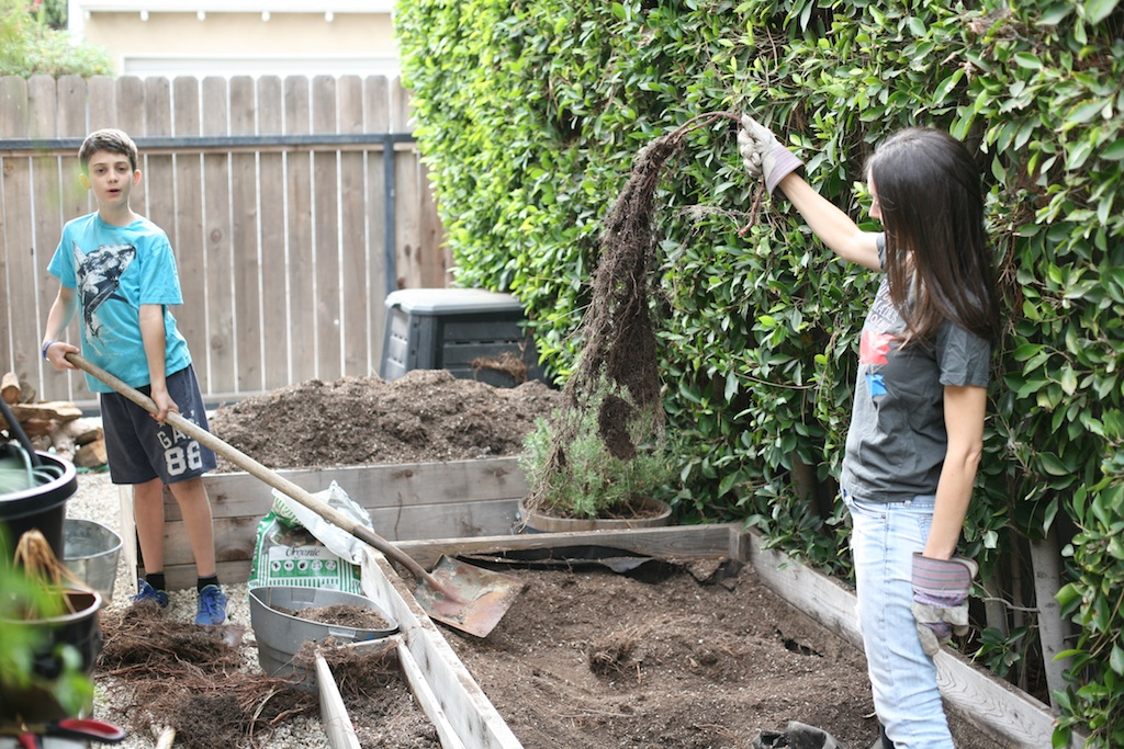 fighting roots in garden beds.jpg
