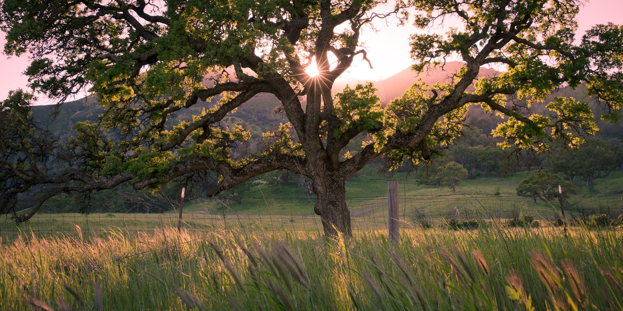 Morgans Oak.jpg