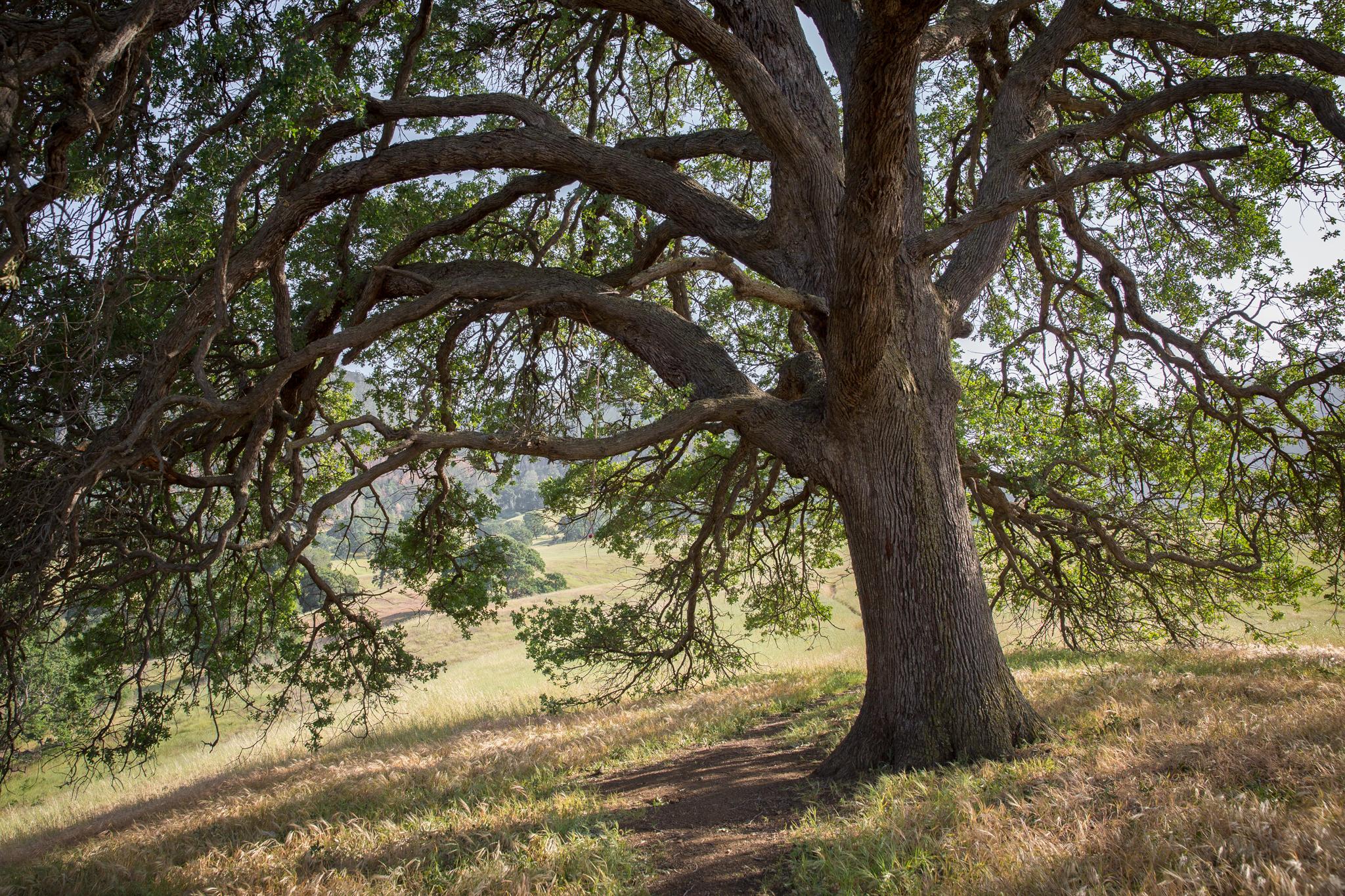 The Hunched Oak.jpg