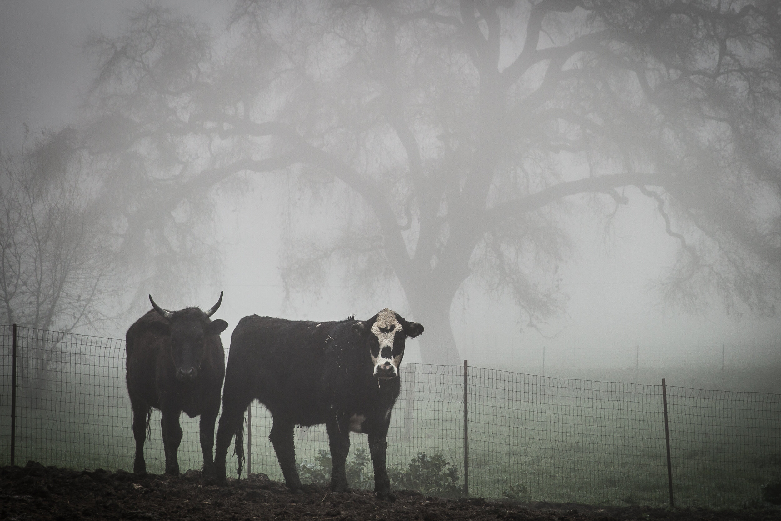 Foggy Cattle - West Sac.jpg
