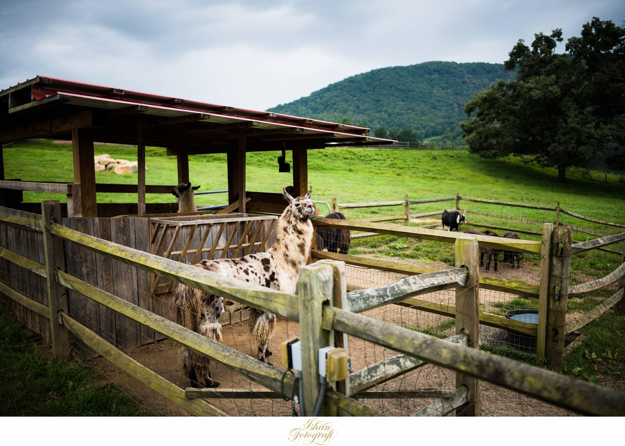 claxton-farm-NC-animals