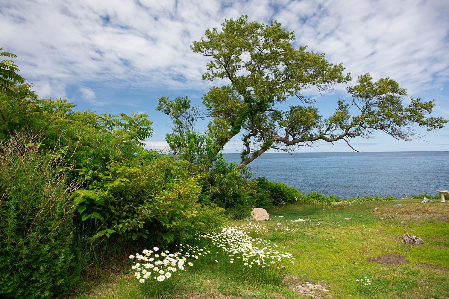 Wider view of the Atlantic Ocean and native daisies growing in Rockport, MA.