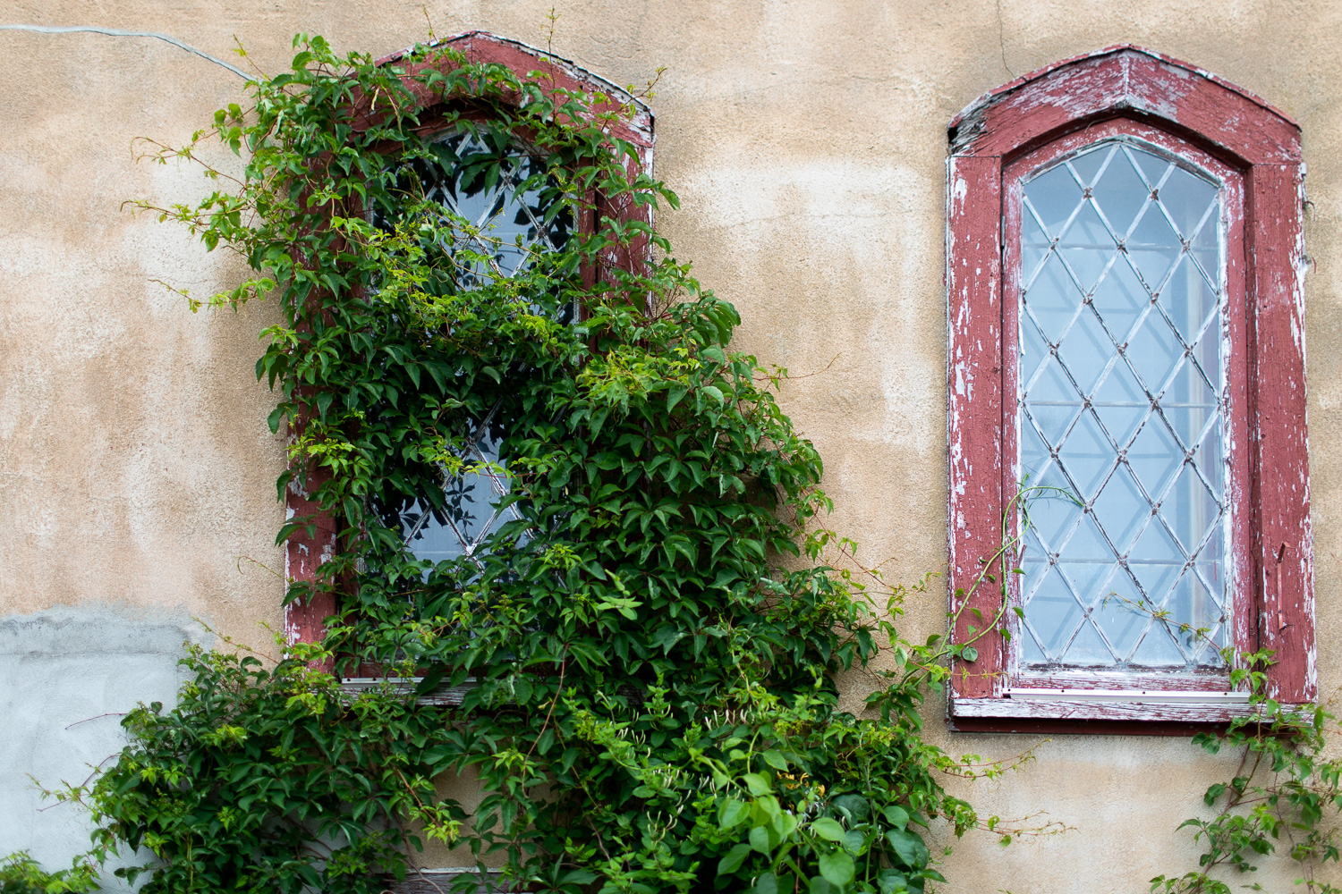 Ivy covering a window at the Hammond Castle.