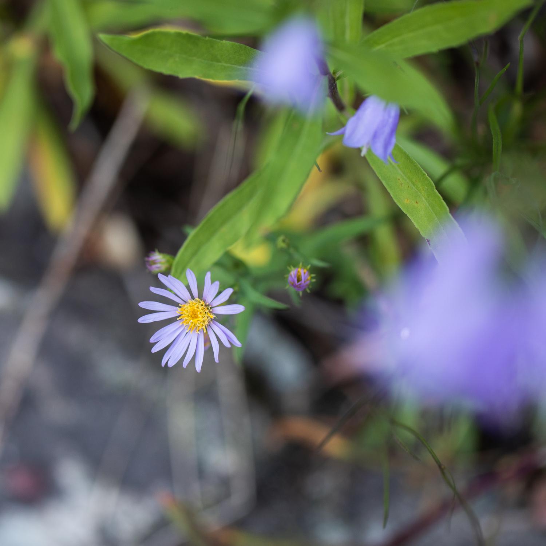 Wildflowers growing near Avalanche Creek.