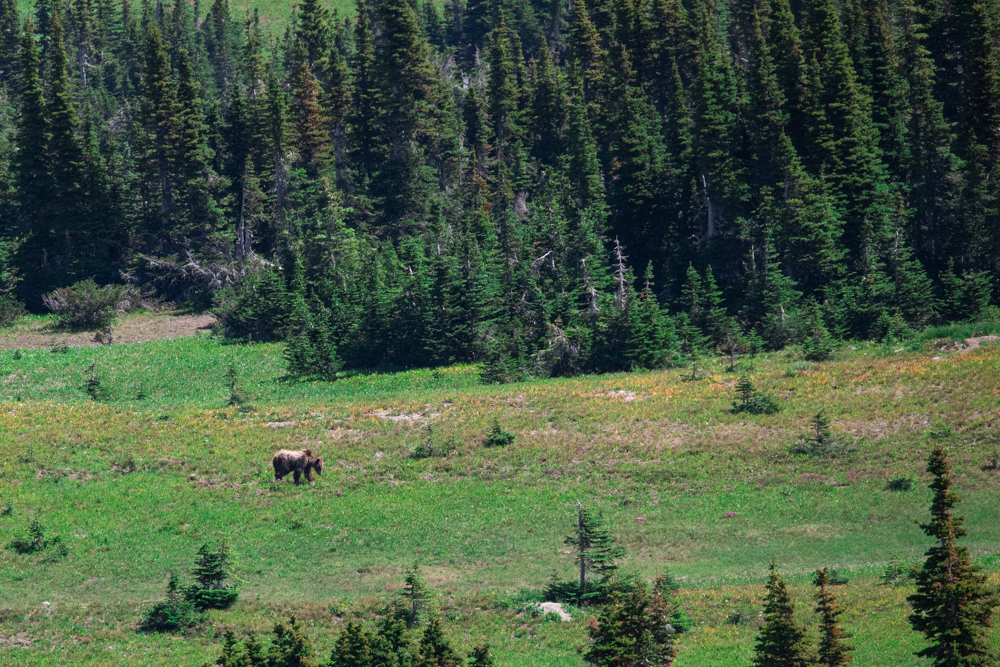 Grizzly bear seen from a distance.