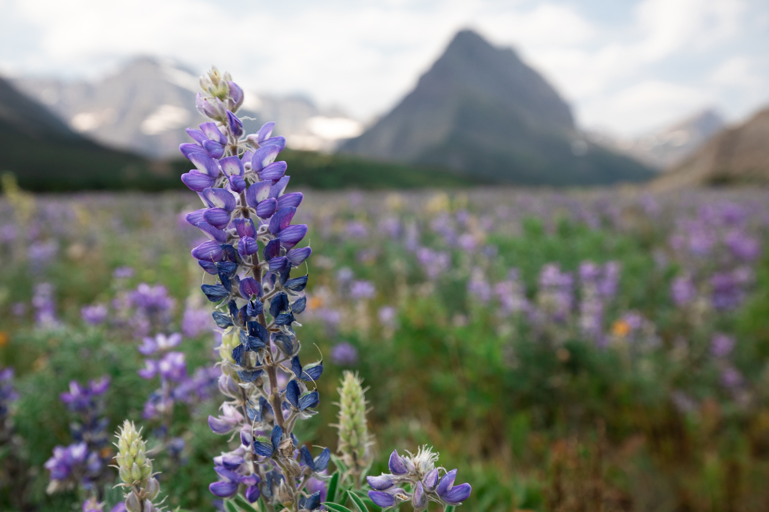 Bigleaf lupine in a flower field at Glacier National Park.