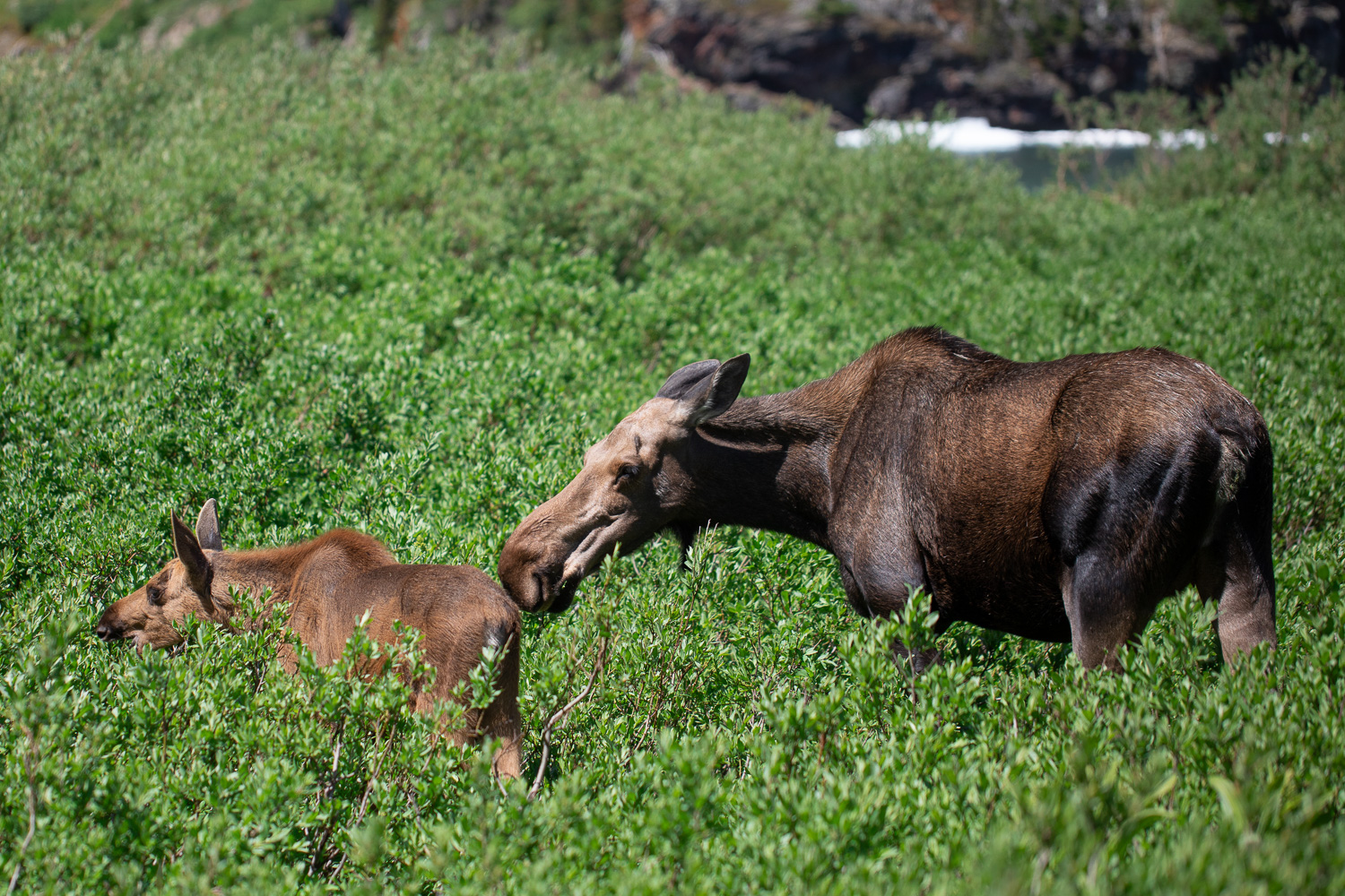 A moose and her calf on the Iceberg Lake trail.