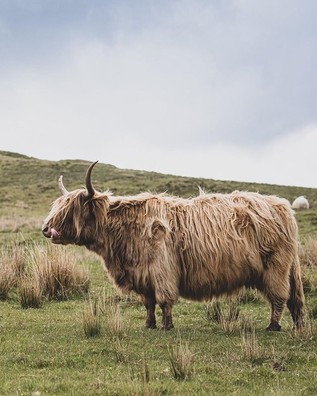 Such delightful creatures on the Isle of Skye in #Scotland. 👅