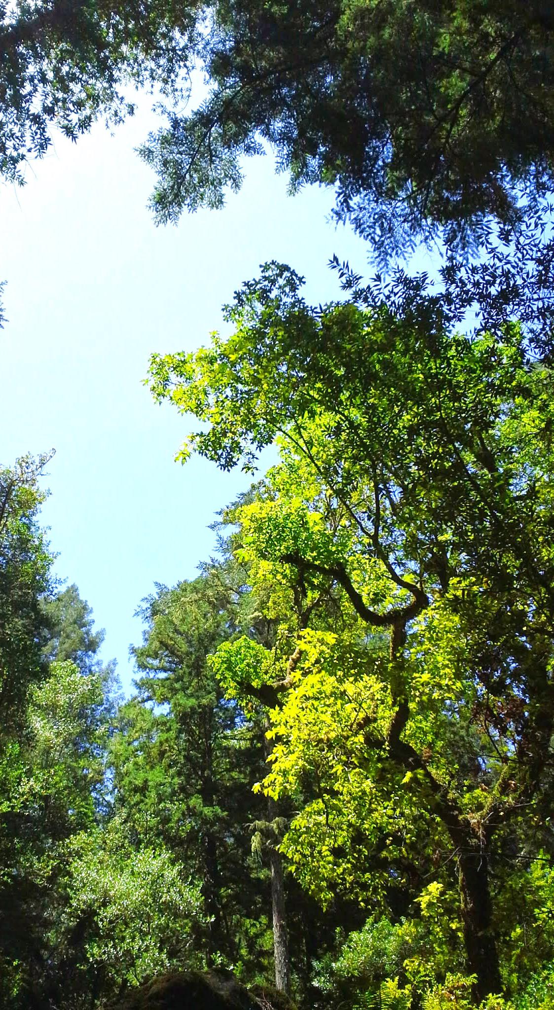 Muir-Woods-Trees.jpg