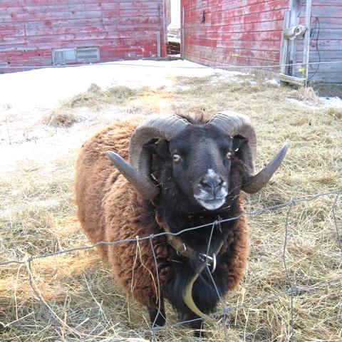 YA-Sheep